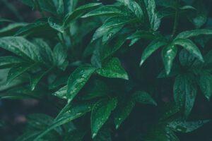 Heckenpflanzen Heijnen