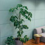 Zitrusbaum kaufen